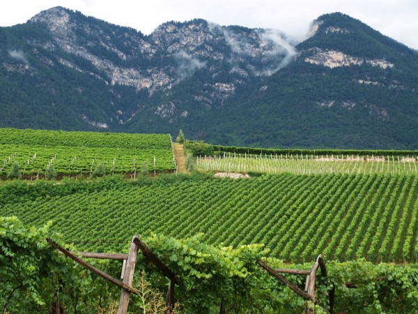South Tyrol vineyard