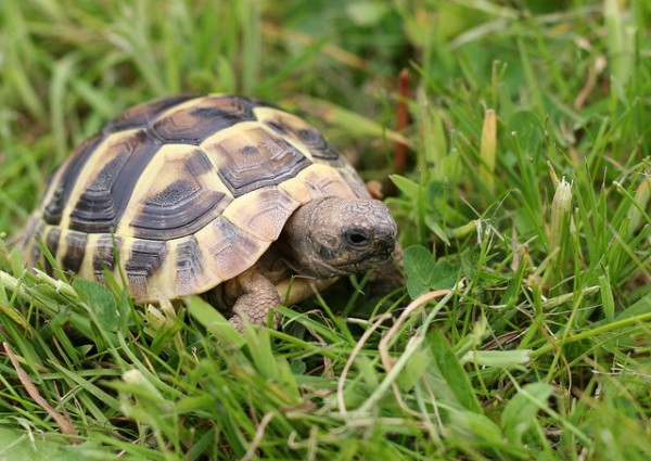 Hermann's tortoise, ©Red Rose Exile/Flickr